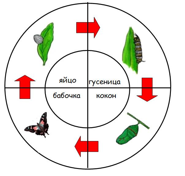 жизненный цикл картинки