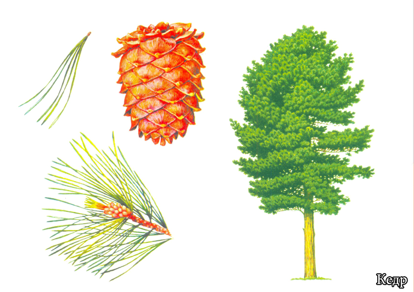 Картинки для детей деревья урала
