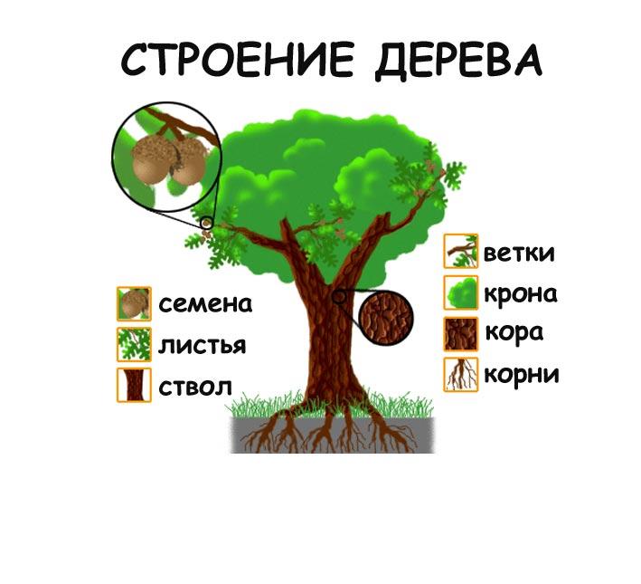 строение дерева картинки