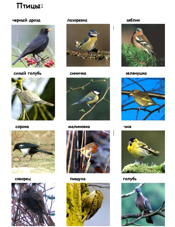 птицы для детей картинки