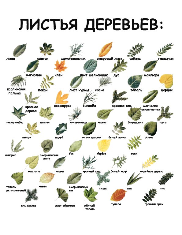 хотел виды деревьев в картинках их листья сосуды
