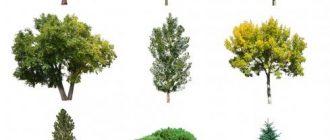 загадки про деревья картинки