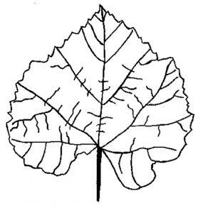 Листья деревьев (раскраска для детей)