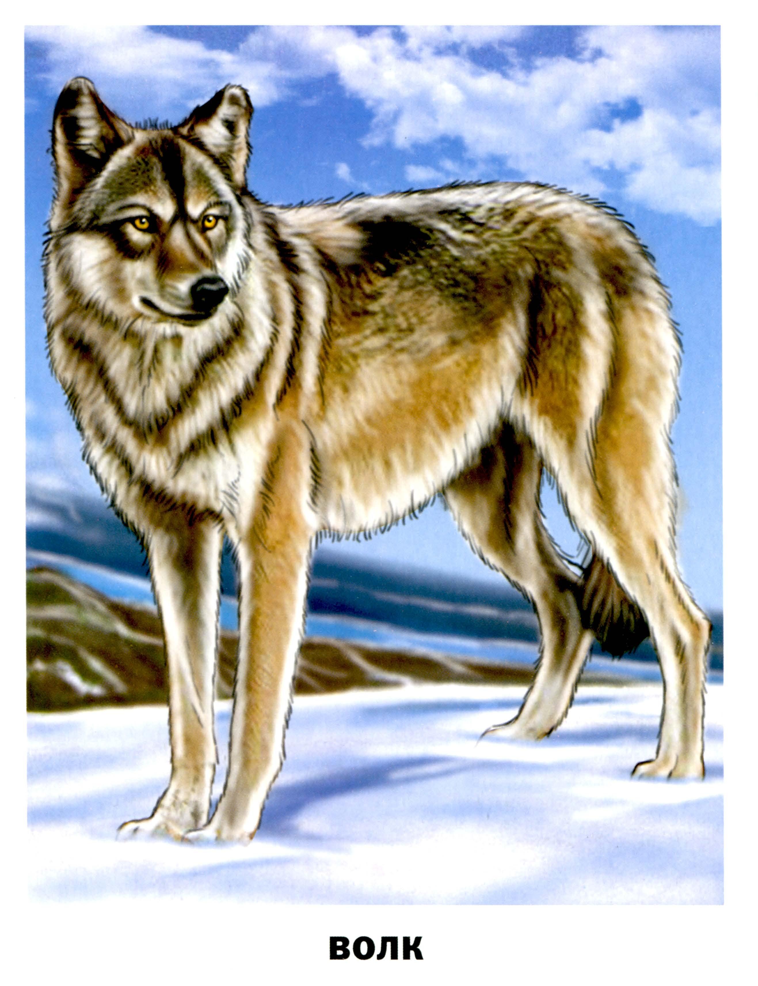 волк картинки для детей нарисованные
