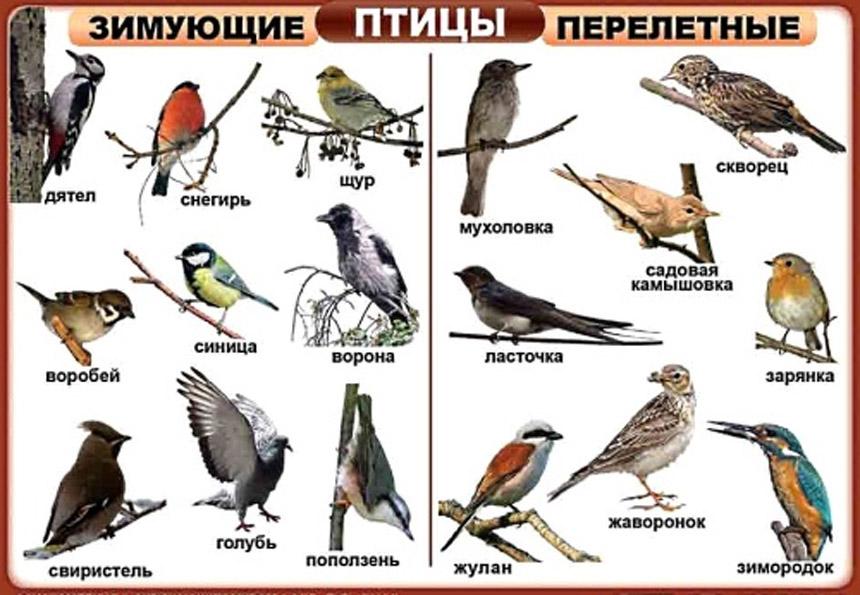 Перелетные птицы: названия для детей, описание, список. Фото 10