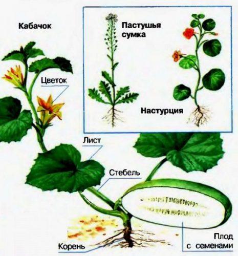 троение растения схема для детей
