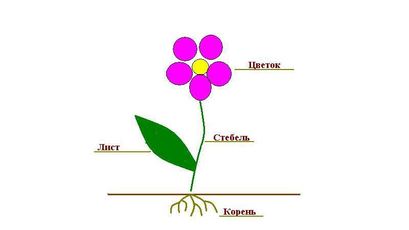 троение растения схема для