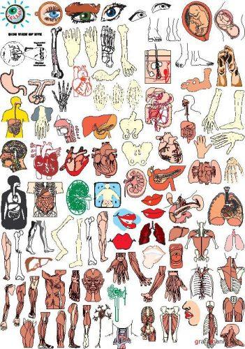 органы человека картинки