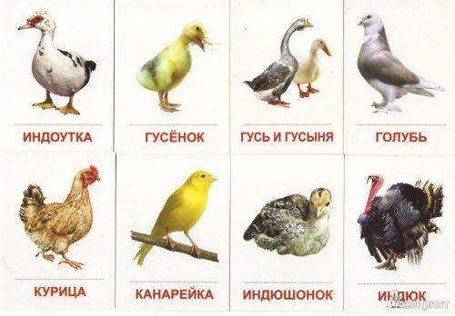 Домашние птицы картинки