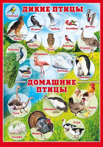 домашние птицы картинки для детей