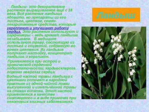 ландыш описание растения