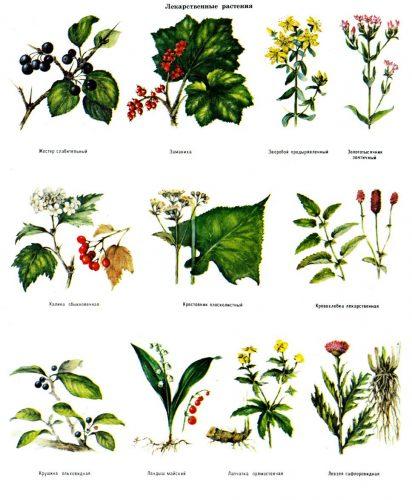 лекарственные растения картинки карточки