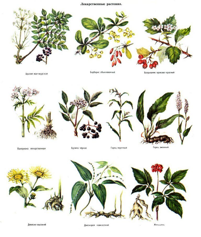 целебные травы в картинках с названиями невероятно смелые