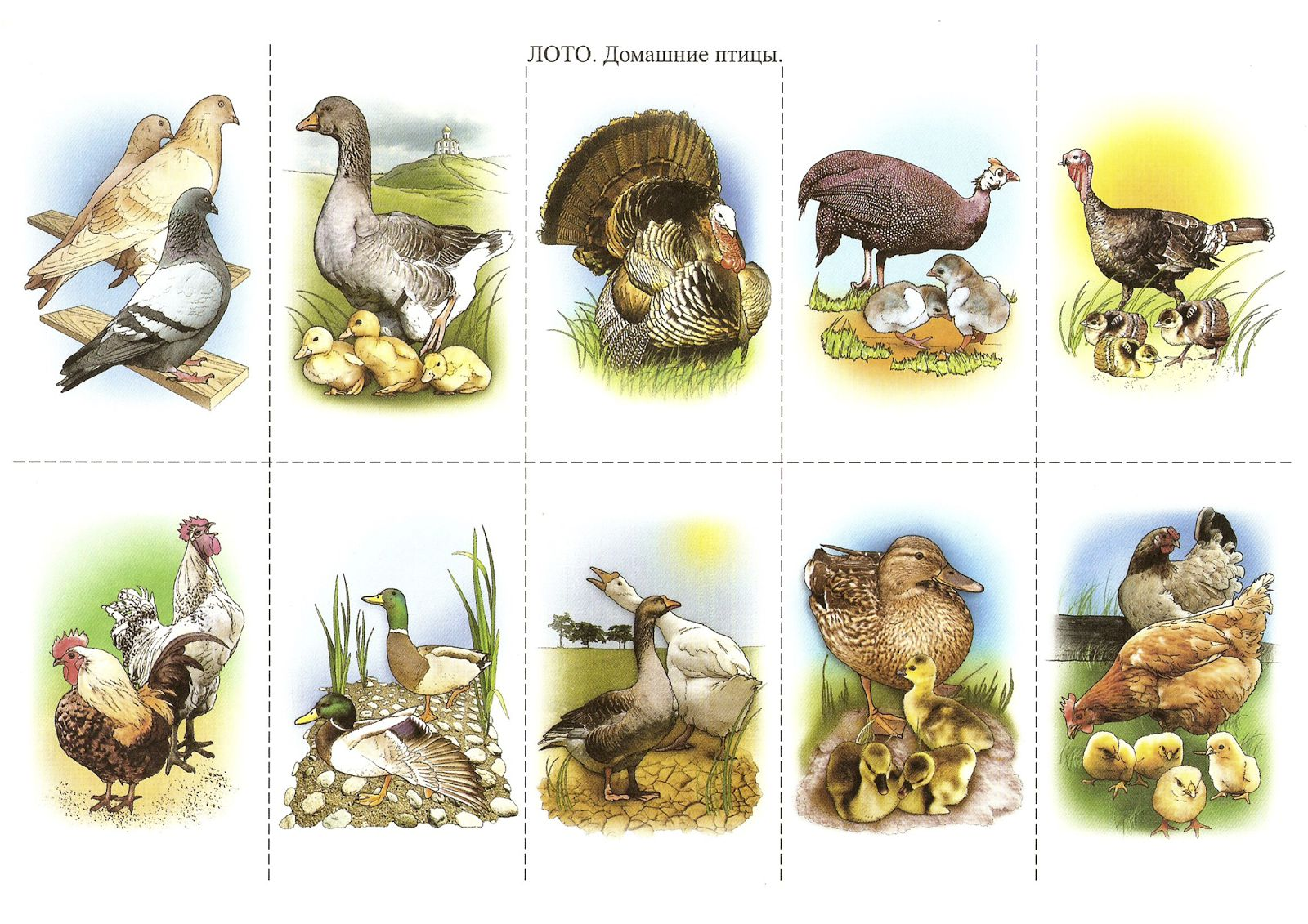 Картинки с изображением домашних птиц и их птенцов
