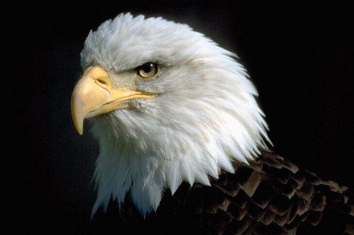 птицы орел картинки