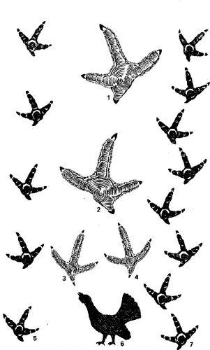 следы птиц картинки