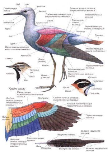 строение птицы картинки