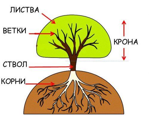 части дерева схема