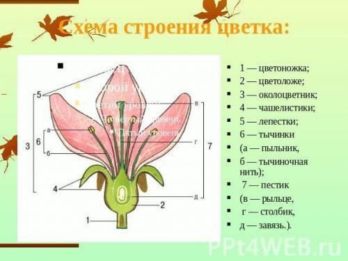 части растения схема