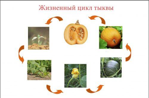 жизненный цикл растения тыква