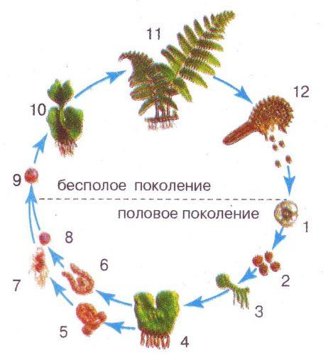 жизненный цикл мхов