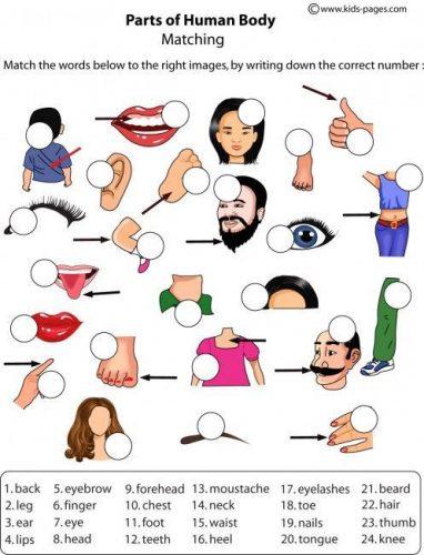 части тела человека на английском2