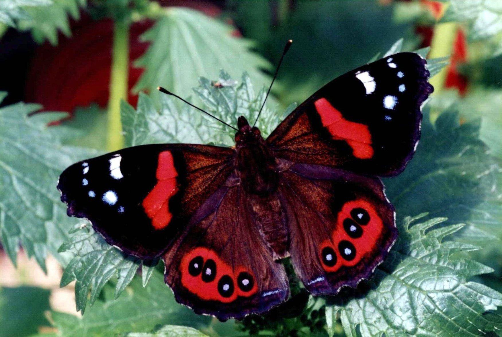 Бабочка адмирал картинка для детей