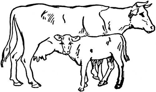 корова с теленком раскраска2