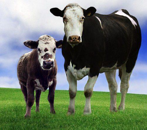 картинки корова с теленком