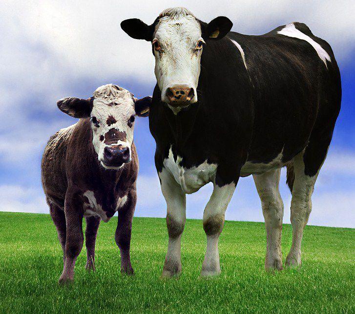 картинки корова с телёнком для детей