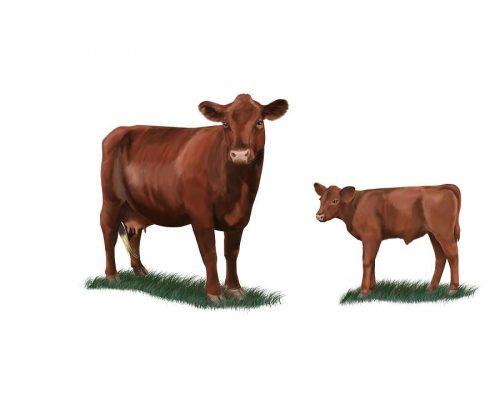 картинки корова с теленком1