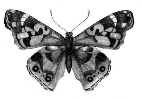 картинки карандашом бабочки3