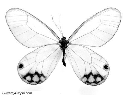 картинки карандашом бабочки6