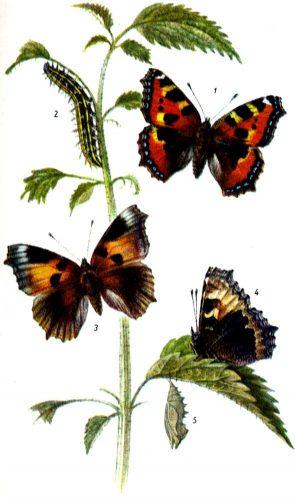 Бабочка крапивница1