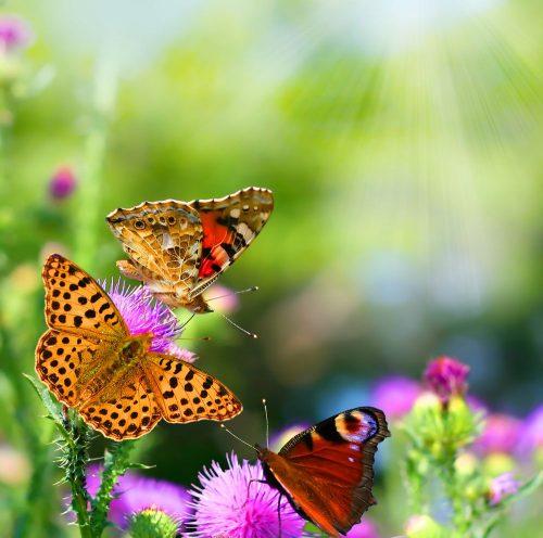 бабочки фото картинки
