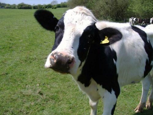 корова картинки для детей