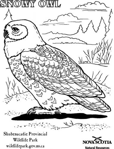 сова раскраска17