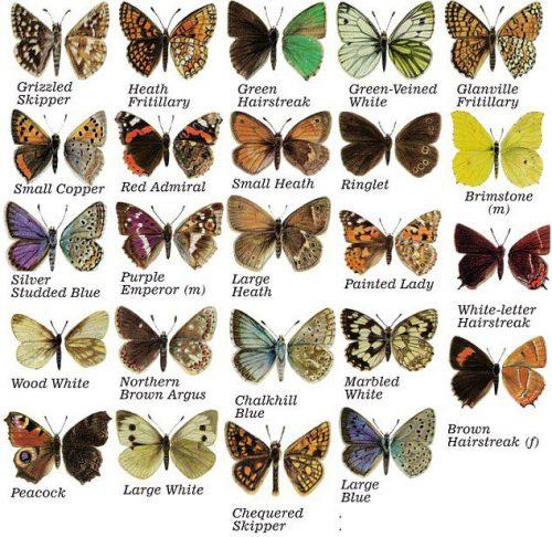 бабочки с названиями3