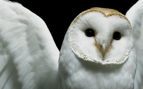 белая сова2