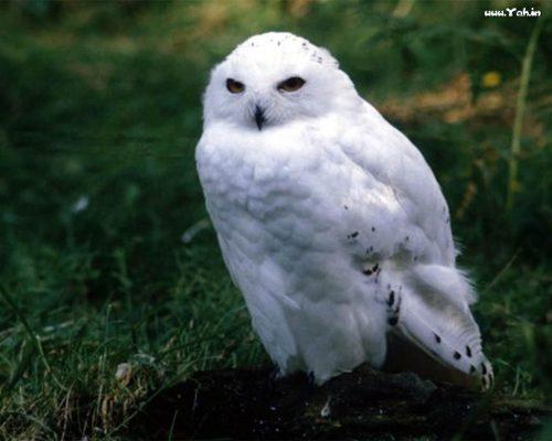 картинка белой совы