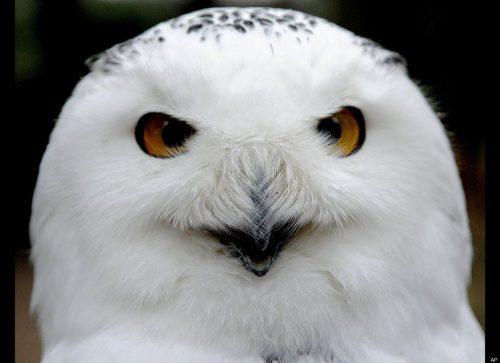 картинка белой совы2