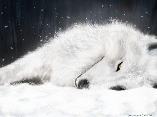 белый волк2