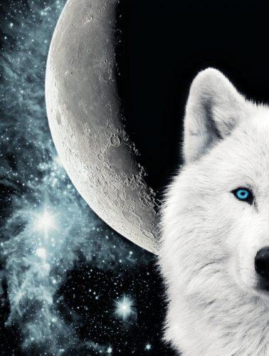 волк воет на луну5