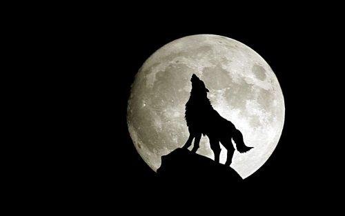 волк воет на луну4