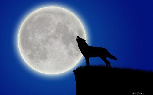 волк воет на луну3