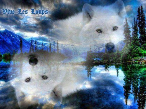 белый волк3