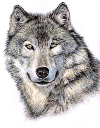 волк картинки для детей нарисованные4