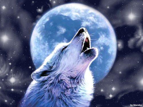 волк воет на луну9
