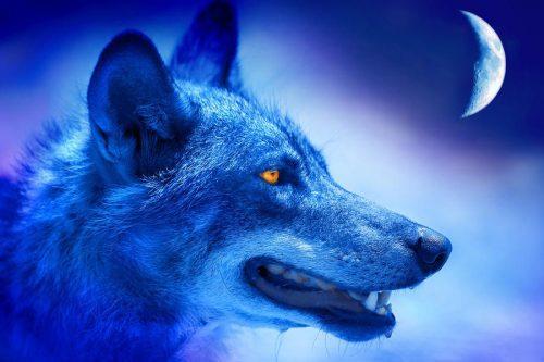 волк картинка2