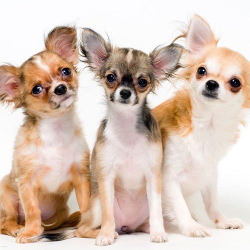 картинки собаки чихуахуа10